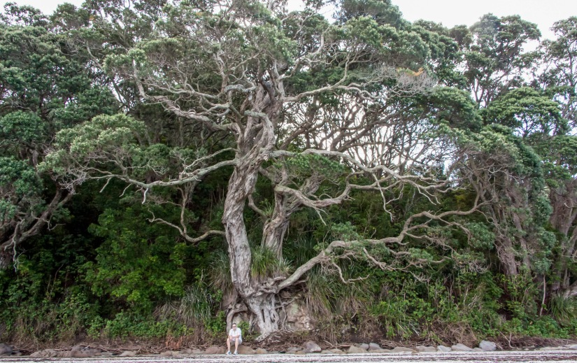 Les and a huge Pohutakawa tree_edited