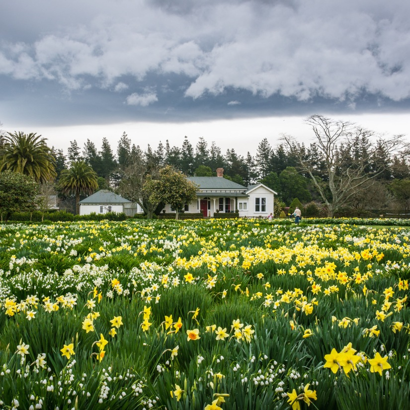 Daffodil field in nZ