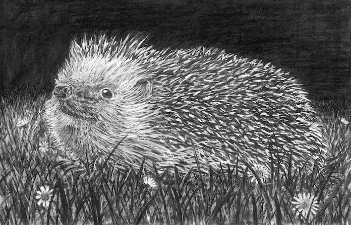 European Hedgehog .jpg