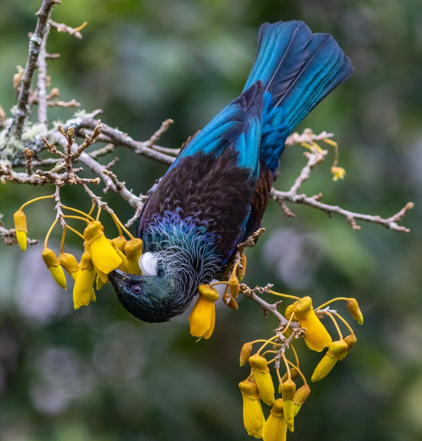 Tui and Kowhai tree
