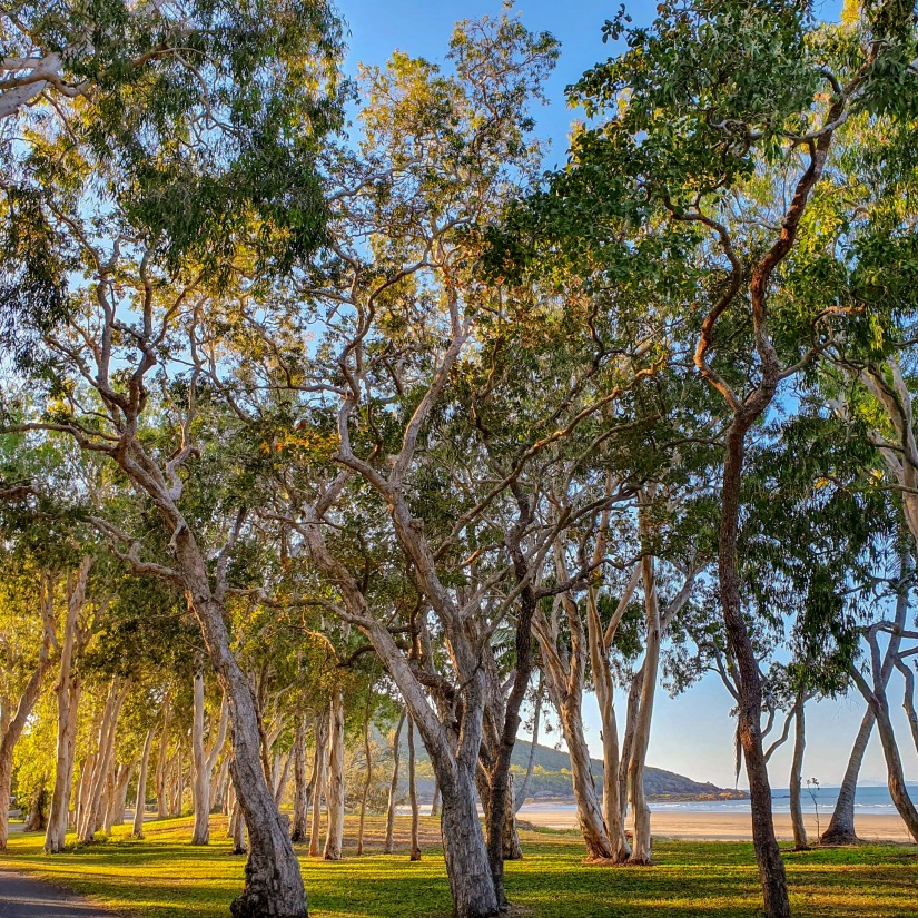 Gum trees alongside the beach