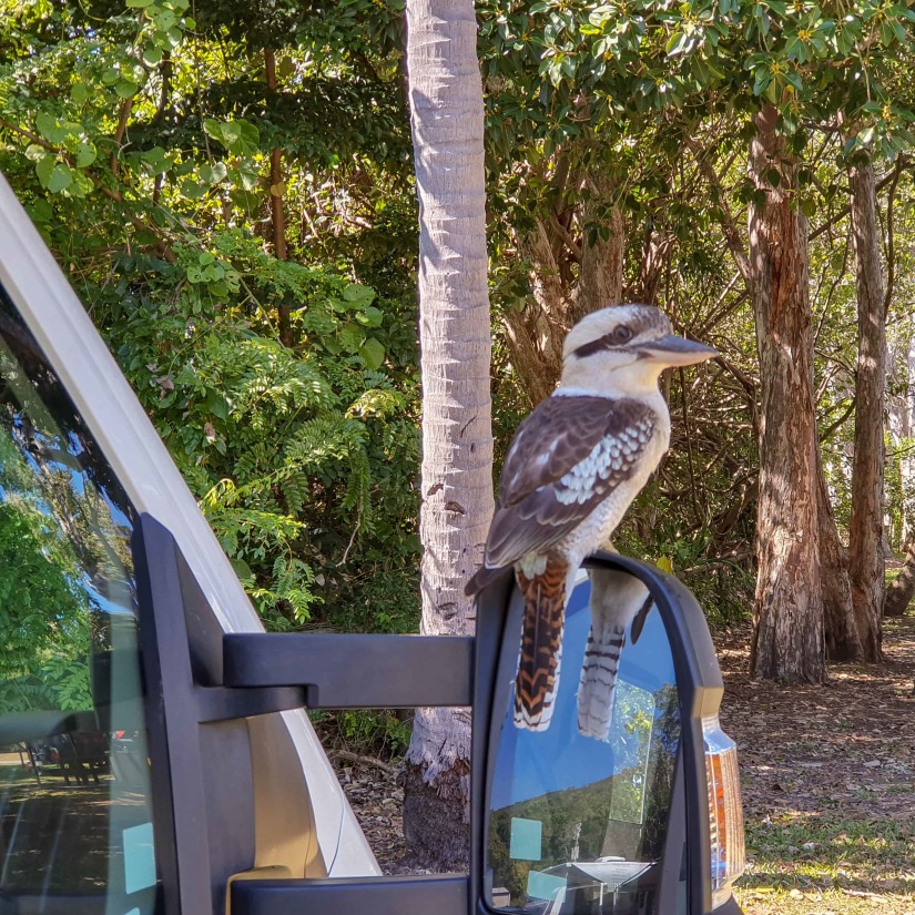 The friendly kookaburra_edited