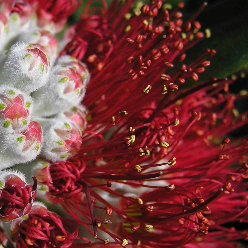 Pohutakawa flower_edited