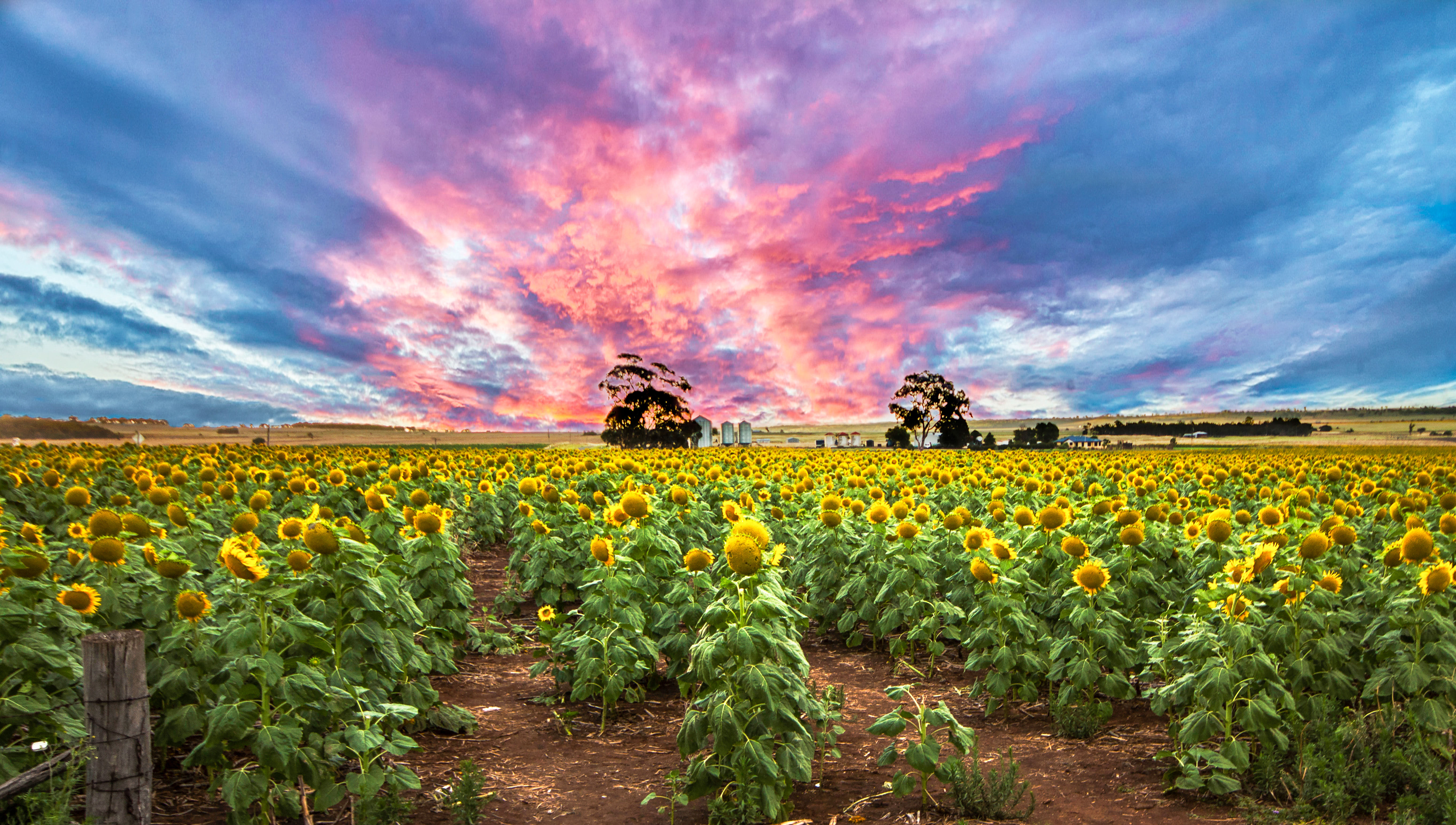 Sunflower sunset.jpg