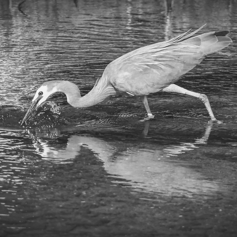 White Faced Heron fishing B&W_edited
